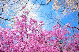 Spring-Sakura-Garden-in-Kyoto-wide-i
