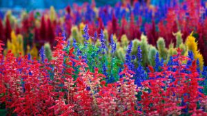 colorful_flowers